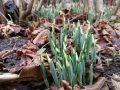 hóvirág, ibolya, tavasz hírnöke, védett növény, Zagyvarékas