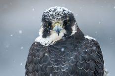 2018, év madara, Magyar Madártani és Természetvédelmi Egyesület, vándorsólyom