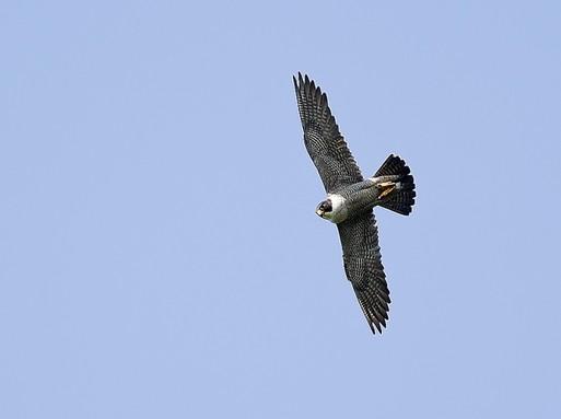Vándorsólyom repül, Fotó: Majercsák Bertalan, Magyar Madár és Természetvédelmi Egyesület