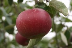 év gyümölcsfája, fekete tányéralma, ősi magyar almafajta, programok