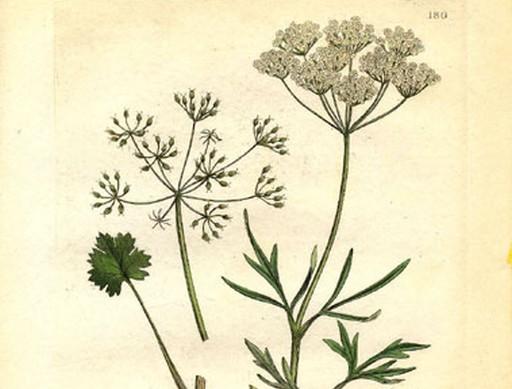 Ánizs és virágja, Kép: wikipedia