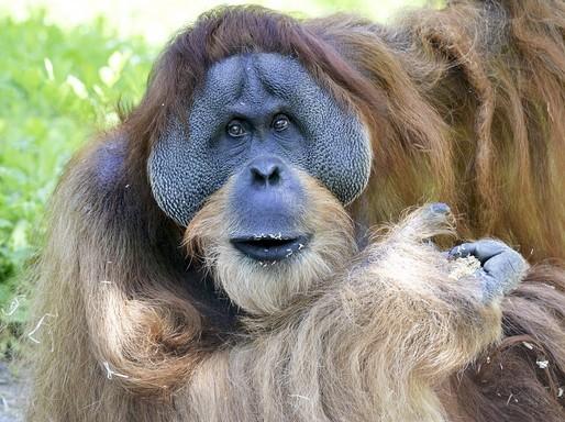 Borneói orángután, Kép: Max Pixel