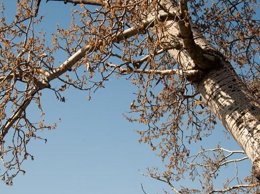 Virágzó nyárfa, Kép: wikimedia