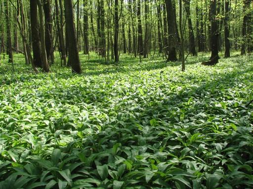 Virágzó medvehagymaföld, Kép: SEFAG