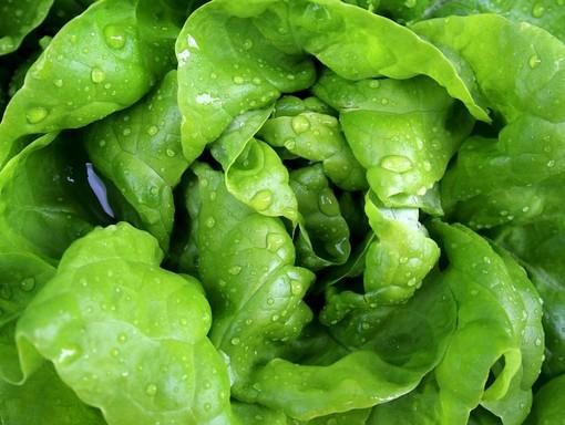 Fejes saláta harmattal, Kép: pixabay