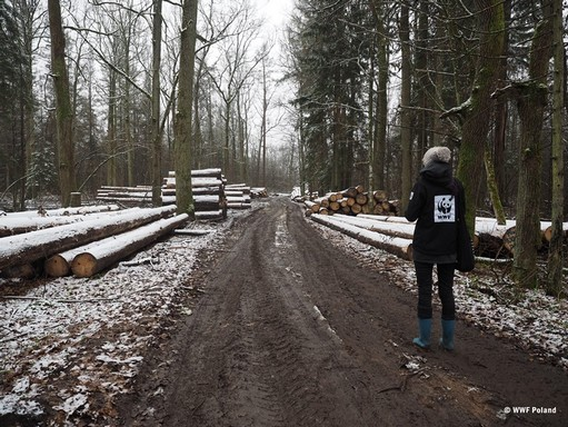 Fakivágás a lengyel őserőben, Kép: WWF Lengyelország