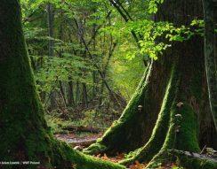 Białowieża, bölény, Európai Bíróság, farkas, hiúz, Lengyelország, őserdő, WWF