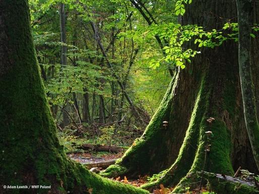 Lenyel őserdő, Kép: Adam Lawnik/ WWF