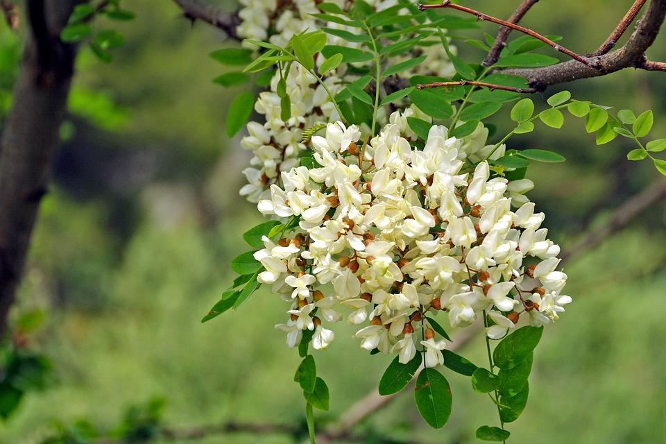 Akác virága, Kép: pixabay