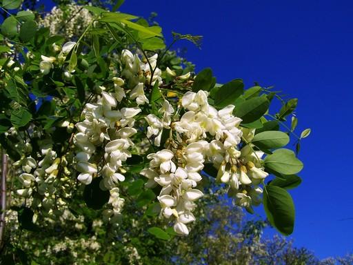 Fehér akác virága, Kép: pixabay