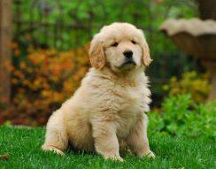 állatorvos, kutya, megelőzés, oltás, vakciona, védőoltás, veszettség