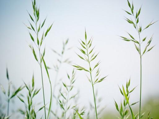 Pázsit, hegyes csenkesz, Kép: pixabay