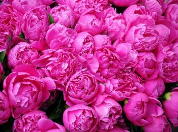 bazsarózsa, évelő növény, pünkösdi rózsa, ünnepi virág