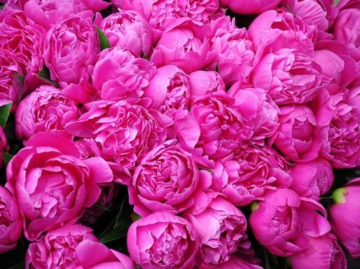 Pünkösdi rózsák, Kép: pixabay