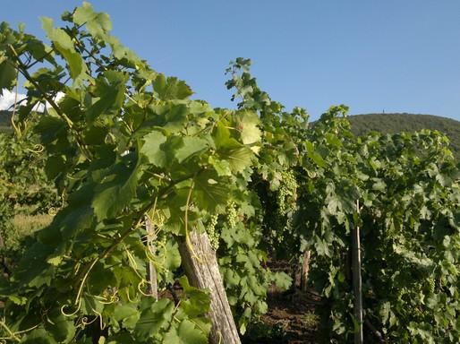Érik a szőlő Eger környékén, Kép: wikimedia