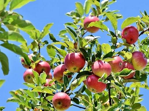 Almák a fán, Kép: Megyeri Szabolcs
