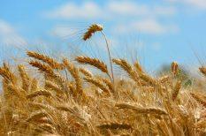 allergia, liszt, lisztérzékenység, magyar kutatók, siker