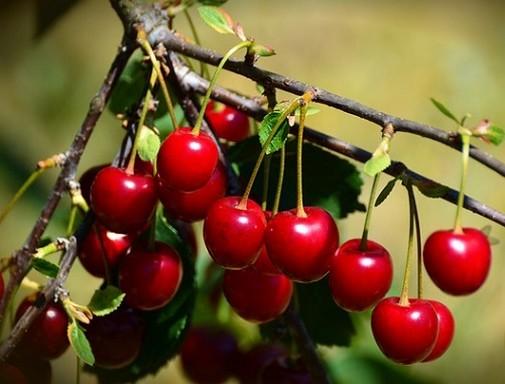 Cseresznyék a fán, Kép: Megyeri Szabolcs
