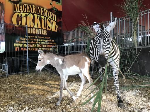Félrelépett a zebra, Kép: magyarnemzeticirkusz.hu