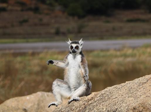 Gyűrűsfarkú maki Madagaszkáron, Kép: pixabay