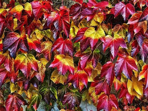 Őszi vadszőlő, Kép: pixabay