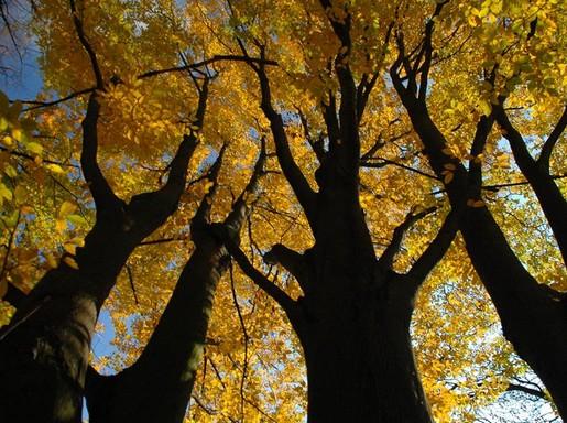 Pécsi erdő sárga levelekkel, Kép: Mánfai György