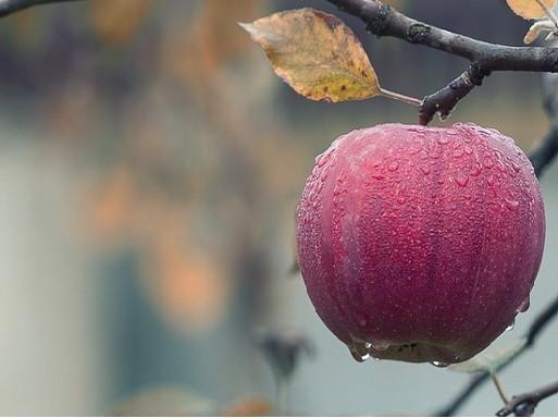 Szép alma, Kép: Megyeri Szabolcs
