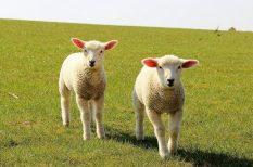 állattenyésztés, élelmezés, etika, fogyasztók, klónozás, kutatás