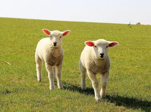 Bárányok, Kép: infolaboratórium
