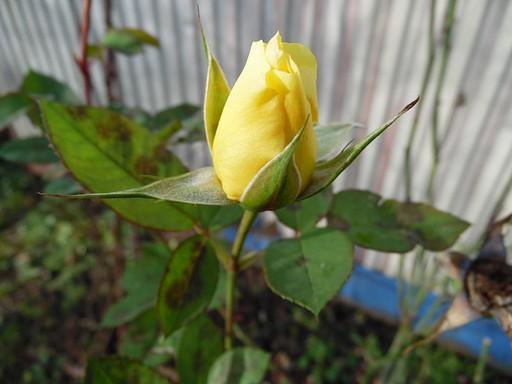 Sárga rózsa, Kép: wikimedia