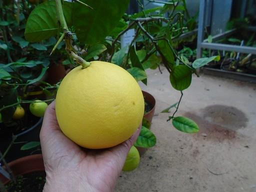 Óriáscitrom a pécsi botanikus kertben, Kép: PTE