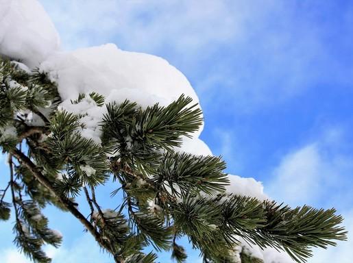 Fenyő hóval, Kép: pixabay