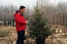 dézsás fenyő, fűtőtest, karácsonyfa, kert, kiültetés, ünnep, vásárlás