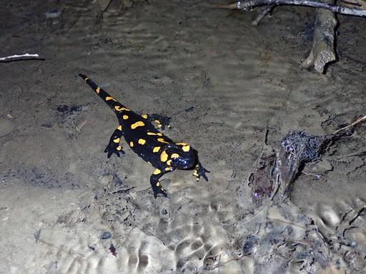 Sekély vízbe lárváit éppen beengedő szalamandra, Kép: Halpern Bálint