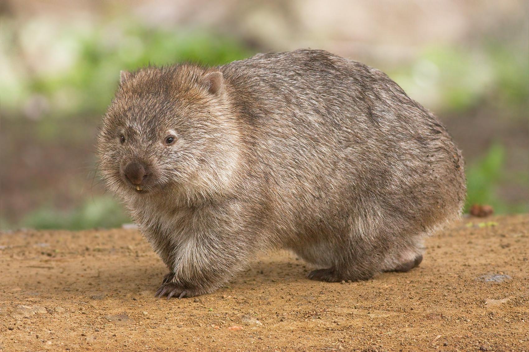 Vombat, Kép: wikipedia