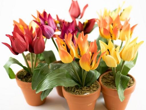 Tulipánok cserepekben, Kép: pixabay
