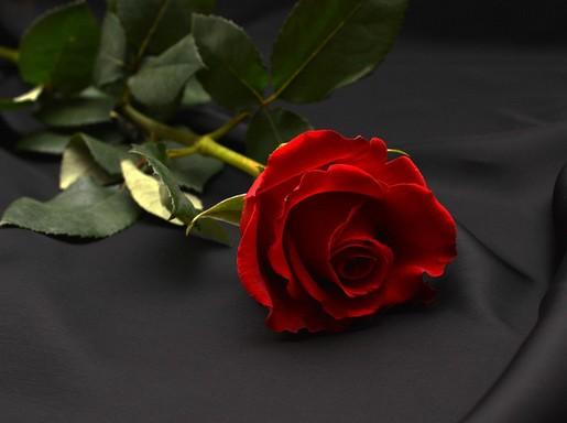 Vörös rózsa, egy szál fekve, Kép: pixabay