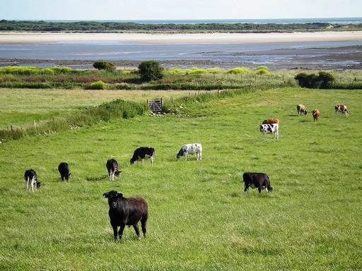 Walesi tehenek, Kép: pixabay
