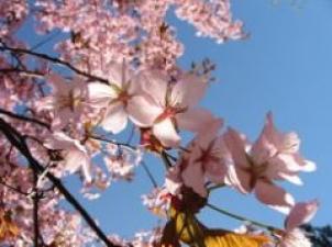 cseresznyevirág pornóleszbikus masszázs pornó