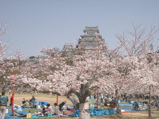 Japán cseresznyvirágzás, Kép: wikimedia