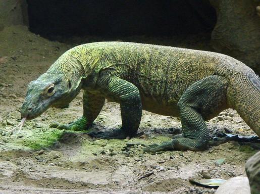 Komodói sárkány. Kép: pixabay