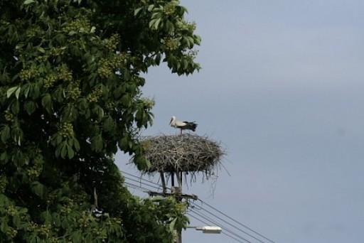 Fehér-gólya-gólyakosárral-megemelt-fészke, Kép: Orbán-Zoltán