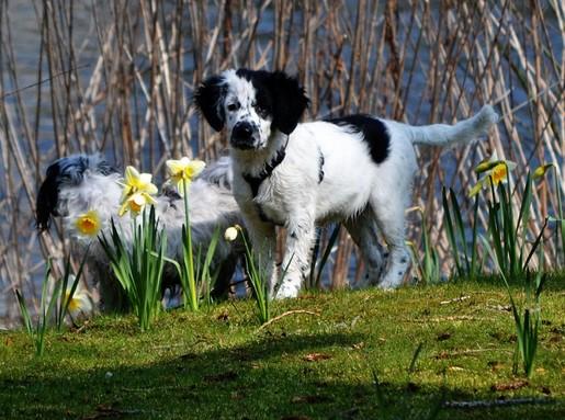 Kutya nárciszok között, Kép: pixabay