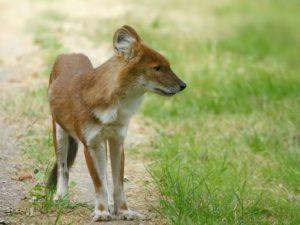 Ázsiai vadkutya, kép: wikimedia