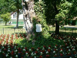 Gyula, Erkel fája, Kép: wikipedia