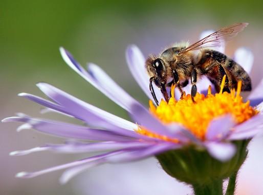 Méh egy lila virágon, Kép: sajtóanyag