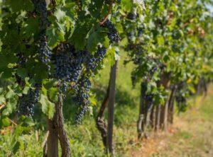 PTE_SZBKI_kékszőlő, Kép: PTE