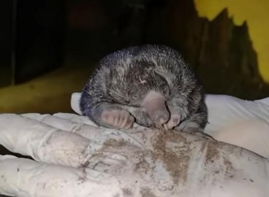 Tojásrakó hangyászsünbébi, filmkocka a Fővárosi Állat- és Növénykert mozijából