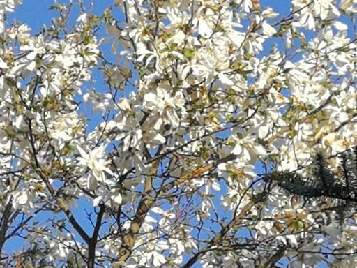 Tulipánfa, fehér, Kép: László Márta