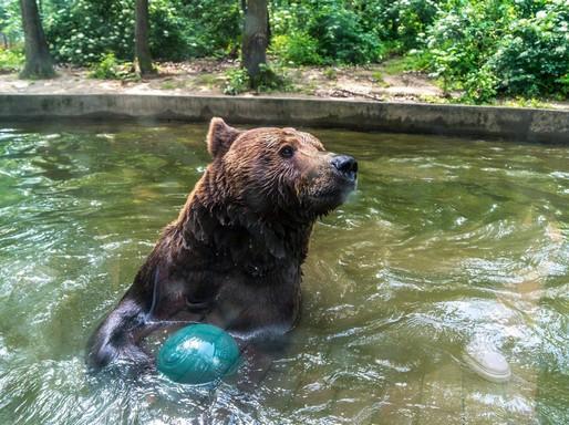 Barna maci labdázik Nyíregyházán, az állatkertben, Kép: e.on